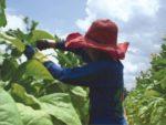 Child tobacco worker