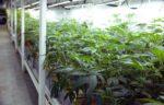 marijuana-hemp-cannibis