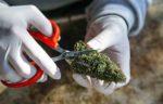 Trimming-marijuana