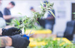 Cannabis clipping