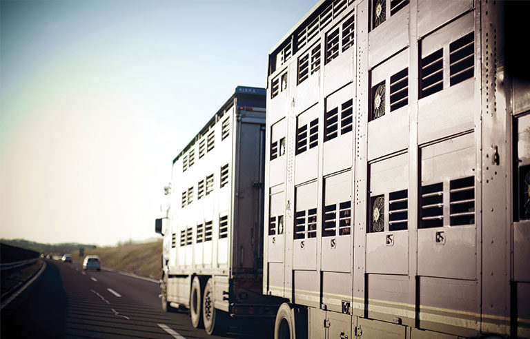 livestock transportation